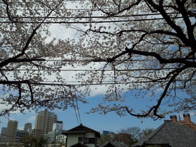 2012/3【春のフォトグラフ】花が咲いたら日記~目黒古桜と目黒川下流のソメイヨシノ_b0116271_15245205.jpg