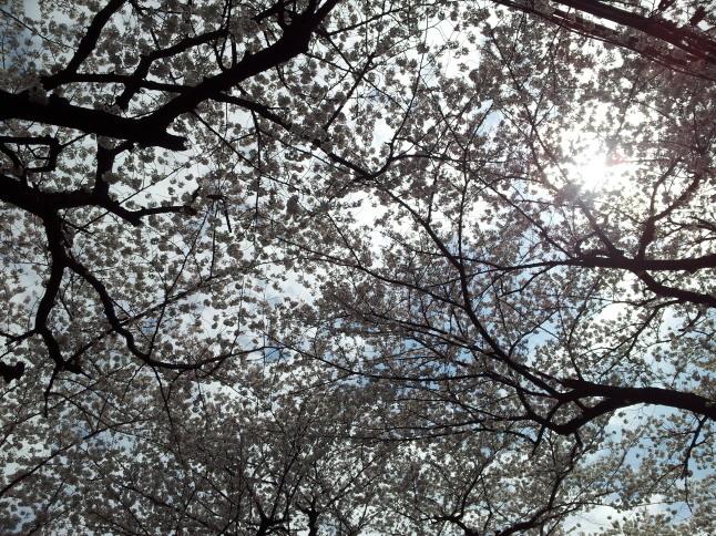 2012/3【春のフォトグラフ】花が咲いたら日記~目黒古桜と目黒川下流のソメイヨシノ_b0116271_15260446.jpg