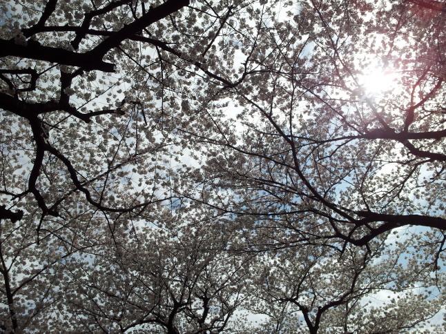 2012/3【春のフォトグラフ】花が咲いたら日記~目黒古桜と目黒川下流のソメイヨシノ_b0116271_15260546.jpg