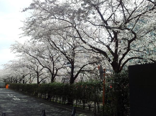 2012/3【春のフォトグラフ】花が咲いたら日記~目黒古桜と目黒川下流のソメイヨシノ_b0116271_15315643.jpg