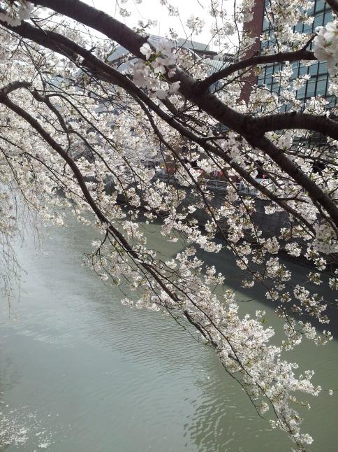 2012/3【春のフォトグラフ】花が咲いたら日記~目黒古桜と目黒川下流のソメイヨシノ_b0116271_15315748.jpg