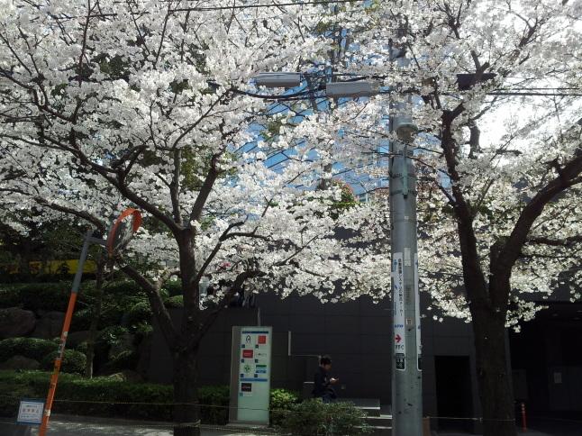 2012/3【春のフォトグラフ】花が咲いたら日記~目黒古桜と目黒川下流のソメイヨシノ_b0116271_15315924.jpg