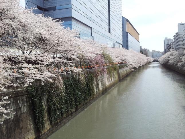 2012/3【春のフォトグラフ】花が咲いたら日記~目黒古桜と目黒川下流のソメイヨシノ_b0116271_15323271.jpg