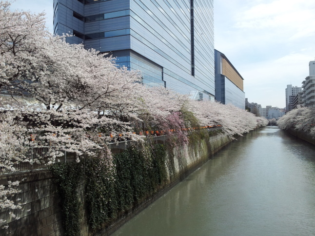 2012/3【春のフォトグラフ】花が咲いたら日記~目黒古桜と目黒川下流のソメイヨシノ_b0116271_15323370.jpg