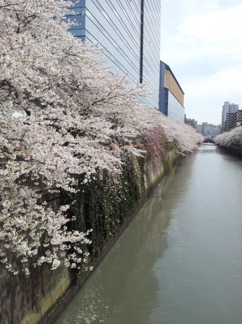 2012/3【春のフォトグラフ】花が咲いたら日記~目黒古桜と目黒川下流のソメイヨシノ_b0116271_15323404.jpg