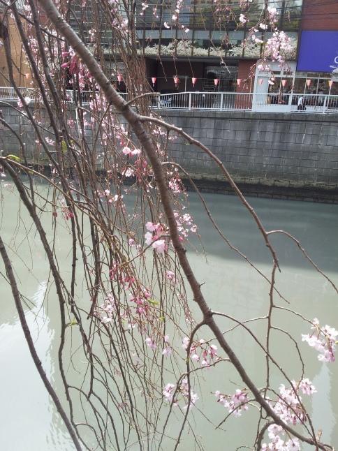 2012/3【春のフォトグラフ】花が咲いたら日記~目黒古桜と目黒川下流のソメイヨシノ_b0116271_15344321.jpg