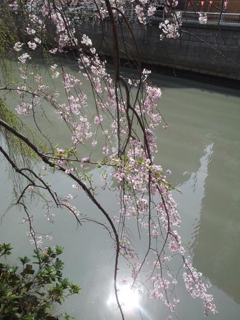 2012/3【春のフォトグラフ】花が咲いたら日記~目黒古桜と目黒川下流のソメイヨシノ_b0116271_15352233.jpg