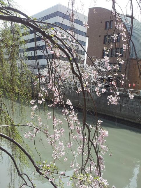 2012/3【春のフォトグラフ】花が咲いたら日記~目黒古桜と目黒川下流のソメイヨシノ_b0116271_15352373.jpg
