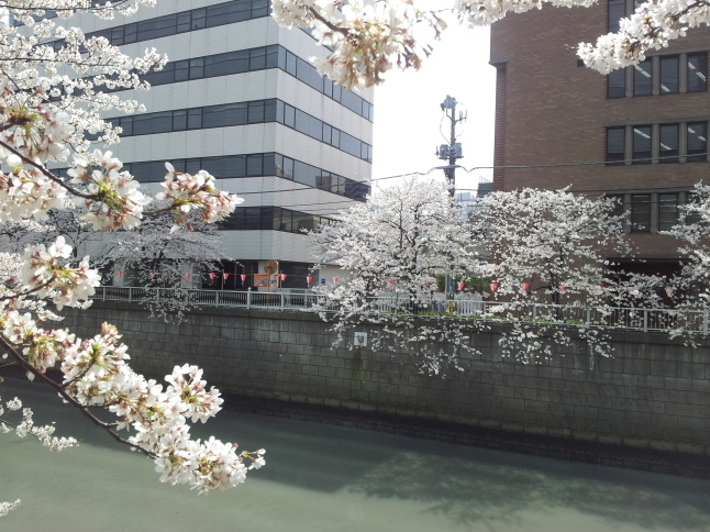2012/3【春のフォトグラフ】花が咲いたら日記~目黒古桜と目黒川下流のソメイヨシノ_b0116271_15365517.jpg