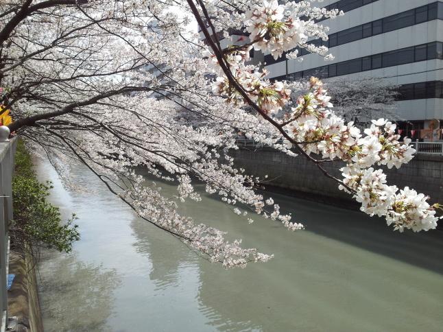 2012/3【春のフォトグラフ】花が咲いたら日記~目黒古桜と目黒川下流のソメイヨシノ_b0116271_15365735.jpg