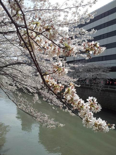 2012/3【春のフォトグラフ】花が咲いたら日記~目黒古桜と目黒川下流のソメイヨシノ_b0116271_15365843.jpg