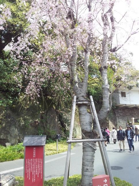 2012/3【春のフォトグラフ】花が咲いたら日記~目黒古桜と目黒川下流のソメイヨシノ_b0116271_15373770.jpg