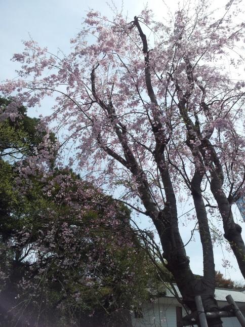2012/3【春のフォトグラフ】花が咲いたら日記~目黒古桜と目黒川下流のソメイヨシノ_b0116271_15381750.jpg