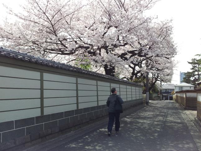 2012/3【春のフォトグラフ】花が咲いたら日記~目黒古桜と目黒川下流のソメイヨシノ_b0116271_15392667.jpg