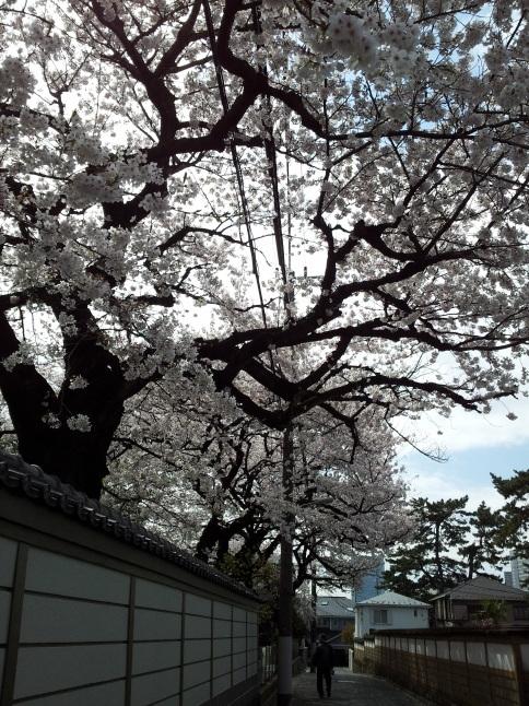 2012/3【春のフォトグラフ】花が咲いたら日記~目黒古桜と目黒川下流のソメイヨシノ_b0116271_15400030.jpg
