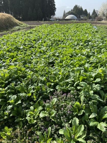 ゆたっと村産高菜を収穫にきませんか_d0161105_16055039.jpg
