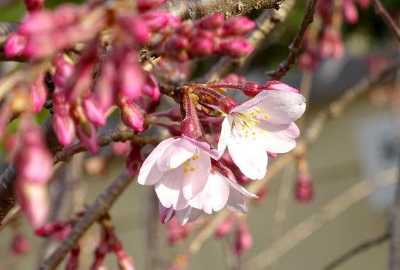 今朝開花のイトザクラ_b0145257_09011614.jpg