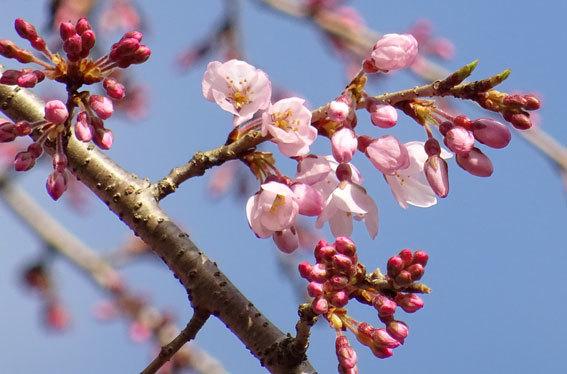 今朝開花のイトザクラ_b0145257_09011988.jpg