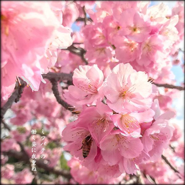 桜とミツバチ_a0197968_14265397.jpg