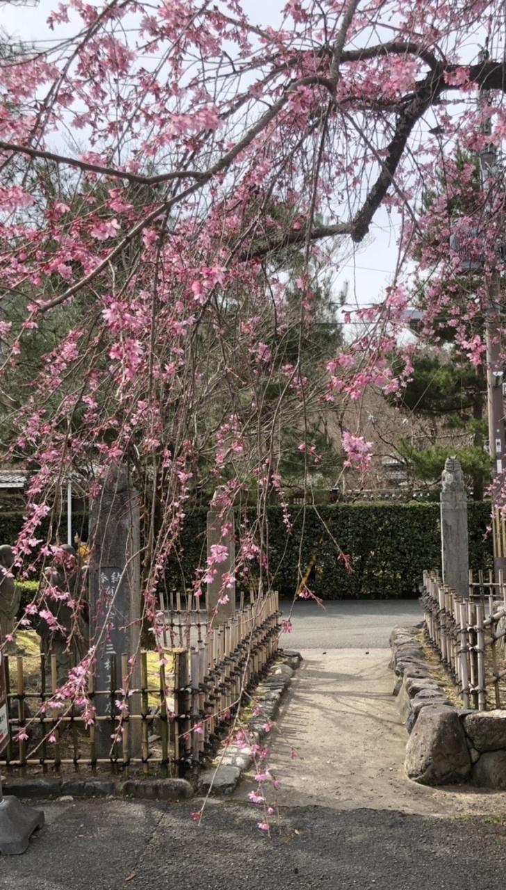 椿から一気に桜の季節に_a0197730_14045186.jpeg