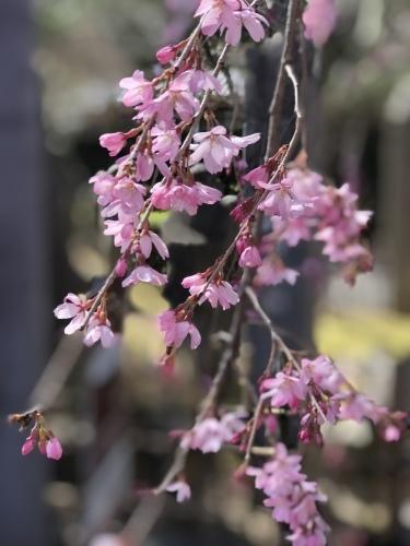 椿から一気に桜の季節に_a0197730_14052435.jpeg