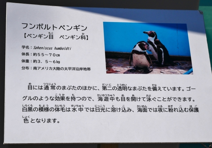 お城の動物園  改装なったペンギン舎  2021-03-21 00:00_b0093754_23141594.jpg