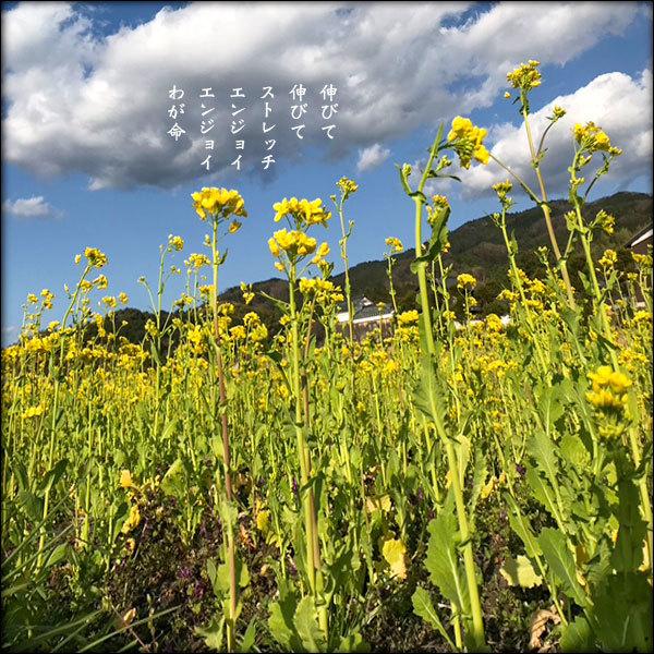 伸びる菜の花_a0197968_19305086.jpg