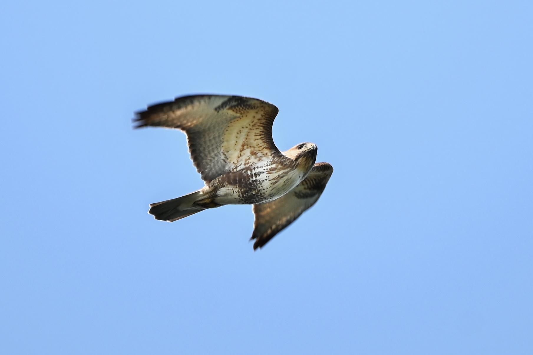 2021春の鷹の渡り_c0034787_18453438.jpg