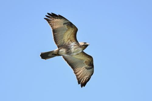 2021春の鷹の渡り_c0034787_18454556.jpg