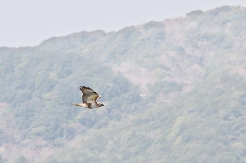 2021春の鷹の渡り_c0034787_18454996.jpg
