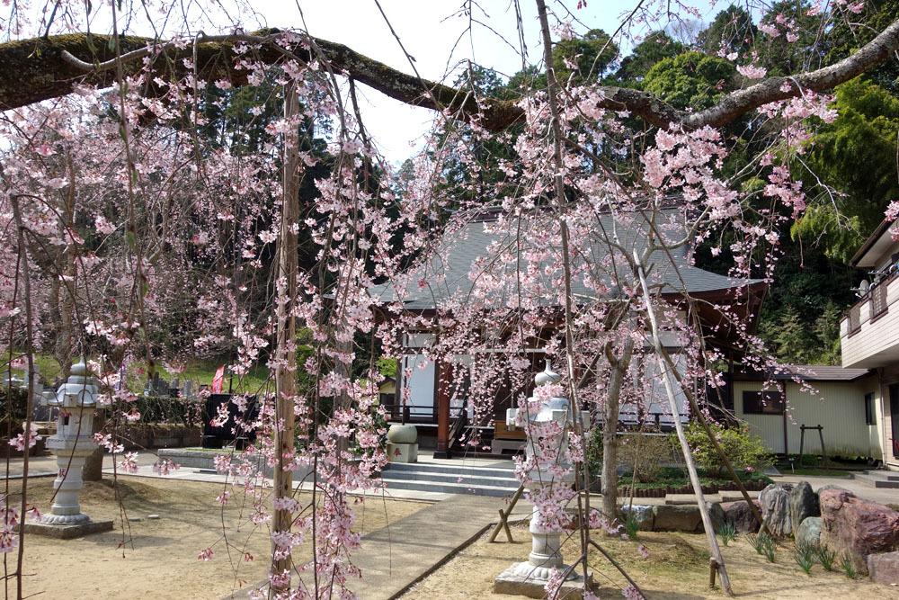 東金・願成就寺の「しだれ桜」が満開_b0114798_16352469.jpg