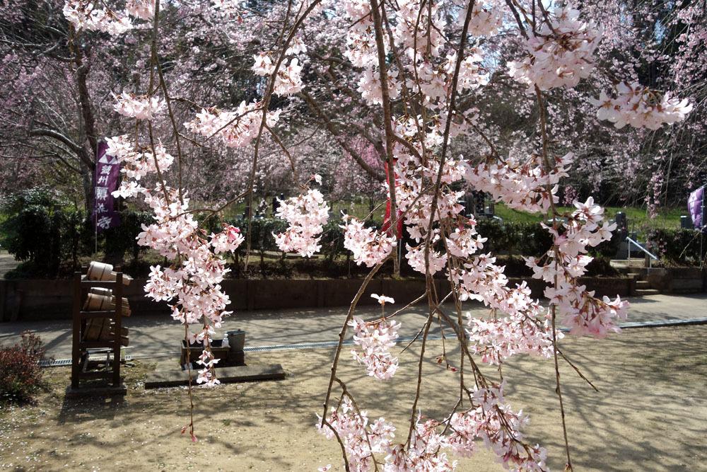 東金・願成就寺の「しだれ桜」が満開_b0114798_16354305.jpg