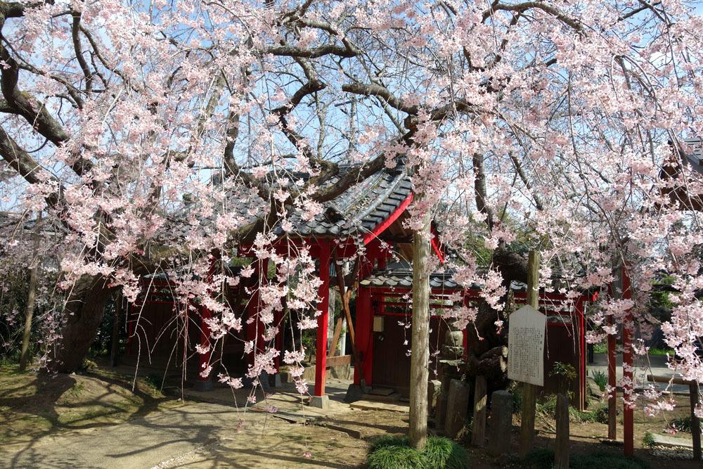 東金・願成就寺の「しだれ桜」が満開_b0114798_16355861.jpg