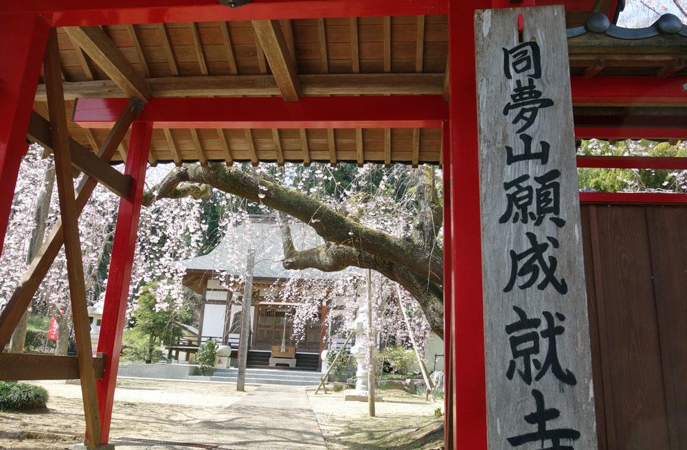 東金・願成就寺の「しだれ桜」が満開_b0114798_16361219.jpg