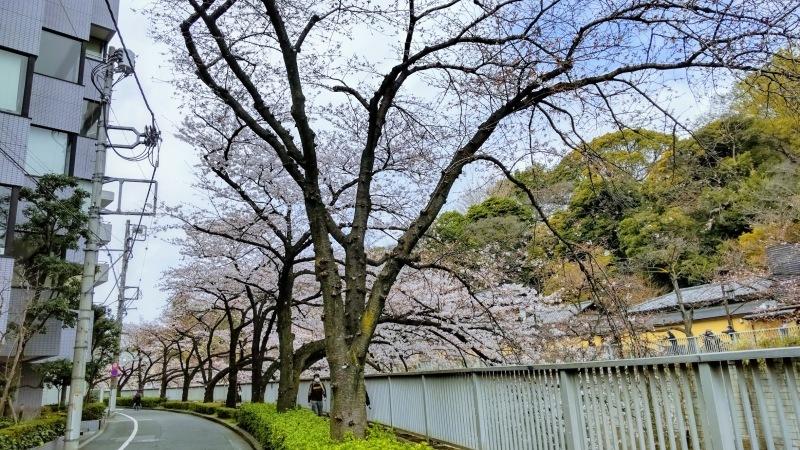 神田川の桜@神楽坂店_f0017300_12350518.jpg