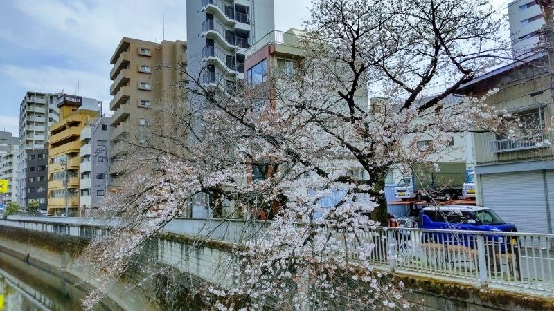 神田川の桜@神楽坂店_f0017300_12351882.jpg