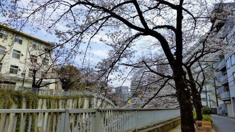 神田川の桜@神楽坂店_f0017300_12362562.jpg