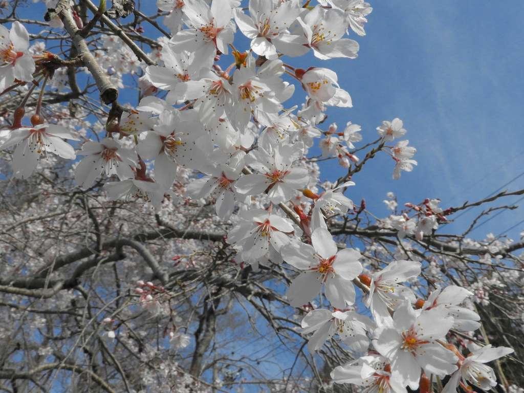 桜、色々_e0372207_11223397.jpg
