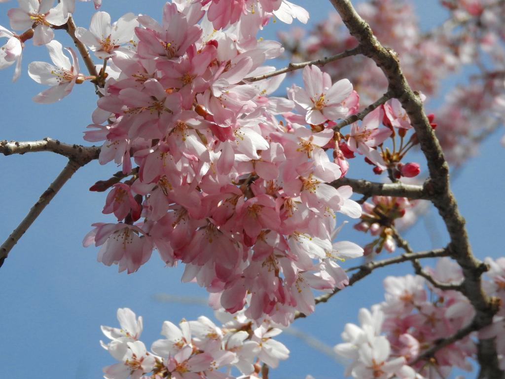 桜、色々_e0372207_11223721.jpg