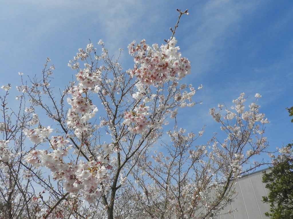 桜、色々_e0372207_11224082.jpg