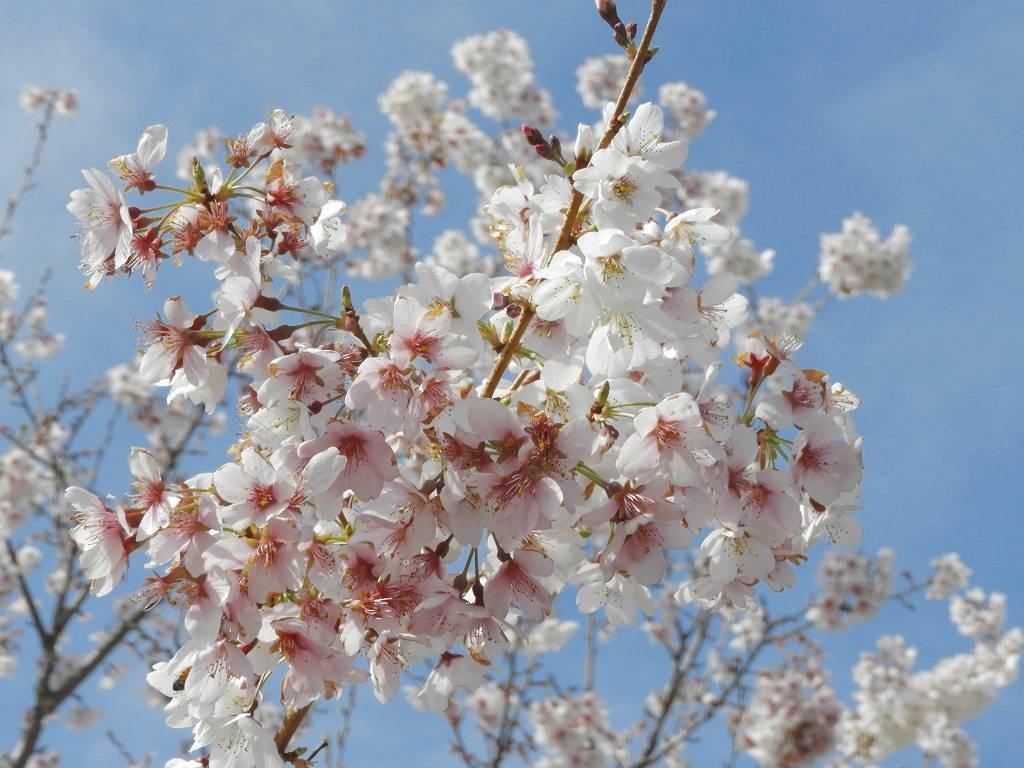 桜、色々_e0372207_11224541.jpg