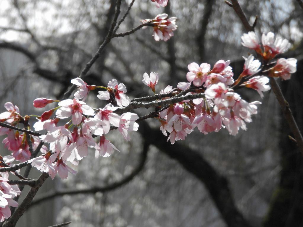 桜、色々_e0372207_11224966.jpg