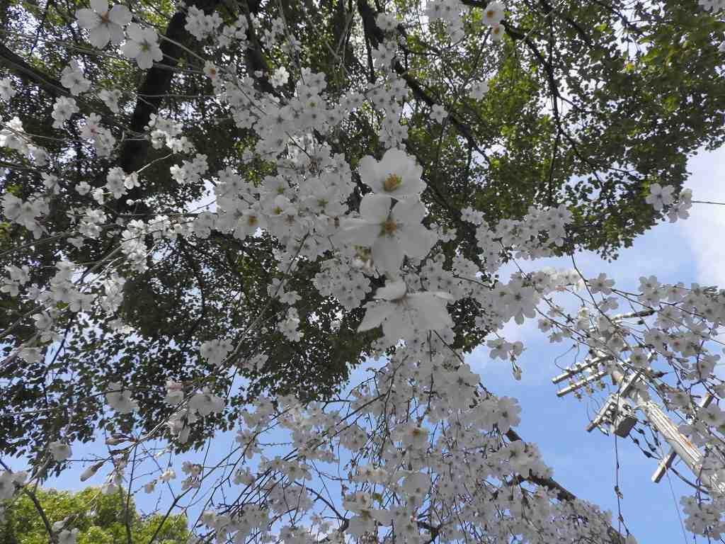 桜、色々_e0372207_11225335.jpg