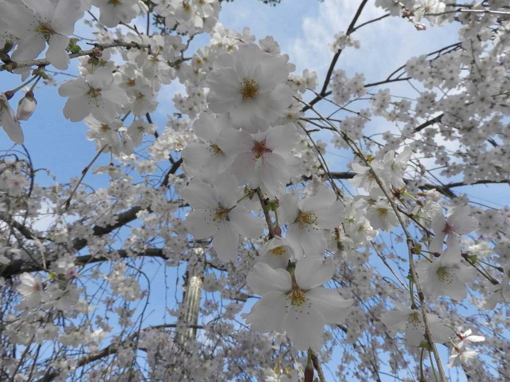 桜、色々_e0372207_11225715.jpg