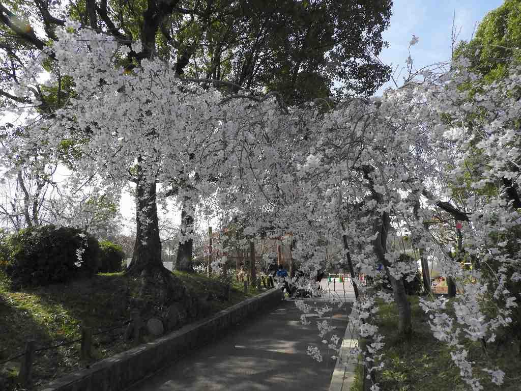 桜、色々_e0372207_11230231.jpg
