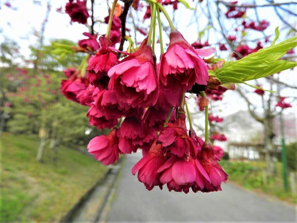 桜、色々_e0372207_11230655.jpg