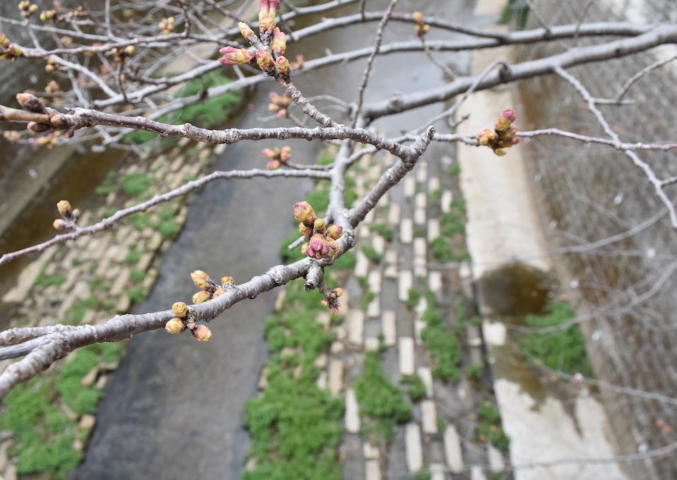 2021年、石神井公園初桜。_d0122797_23195748.jpg