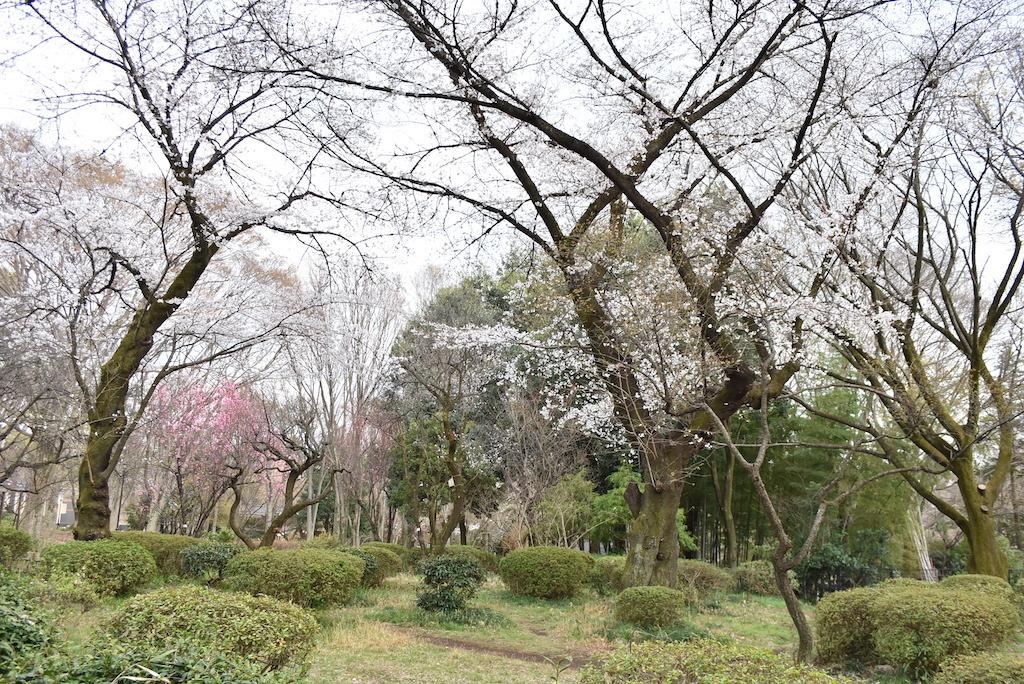 2021年、石神井公園初桜。_d0122797_23213611.jpg