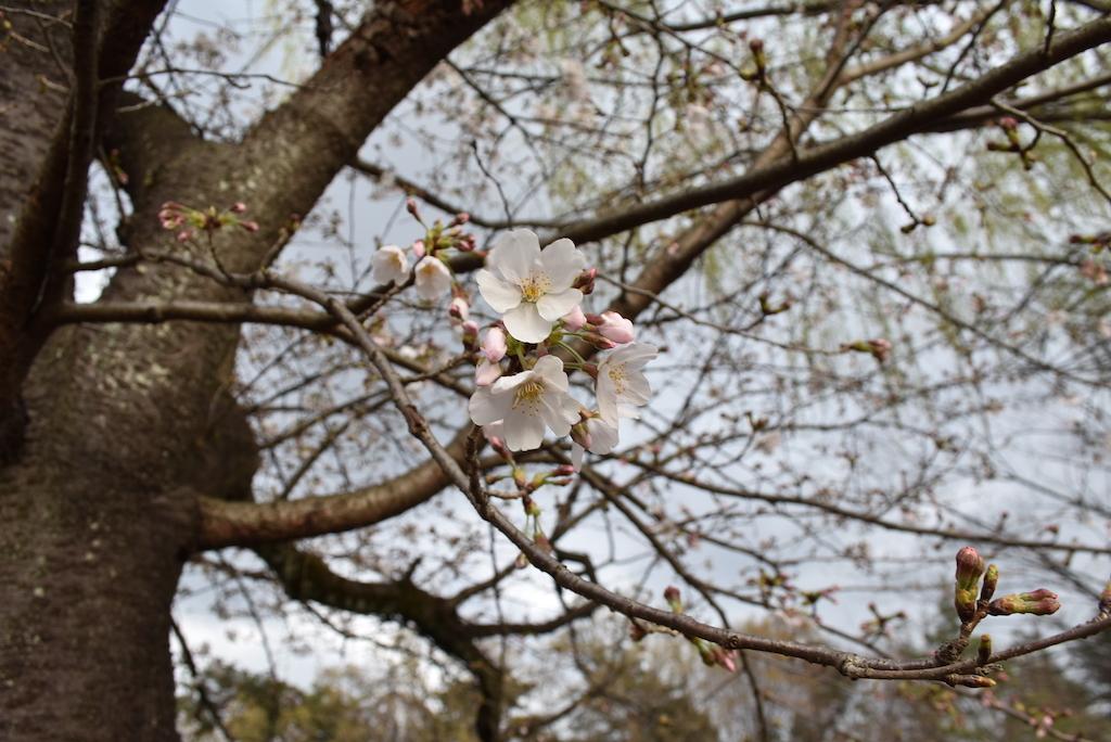 2021年、石神井公園初桜。_d0122797_23260527.jpg