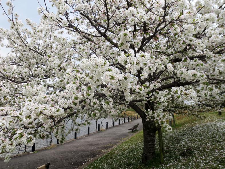 ■「今、桜はどうなってる?」ウォーキング──週替わりの夕暮れ[3/21]_d0190217_21224174.jpg